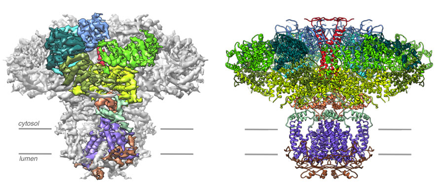 Left, A 4.7 Å resolution cryo-EM density map of the IP3R. Densities corresponding to the individual domains of one subunit are color coded. Right, the resulting atomic model constructed from the 4.7 Å resolution map of IP3R color coded by domain. Views are along the membrane plane.