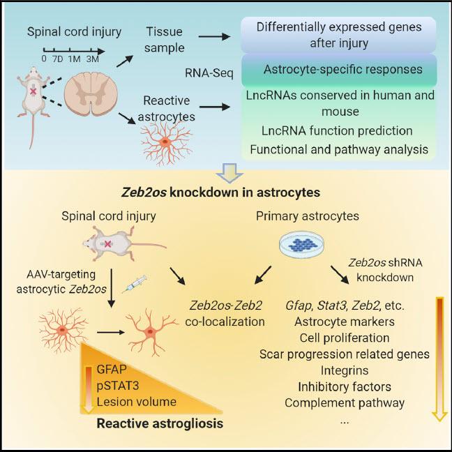 Wu diagram on reactive astrocytes